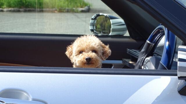 車で飼い主を待つ犬